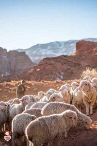 Shepherd Tending His Sheep