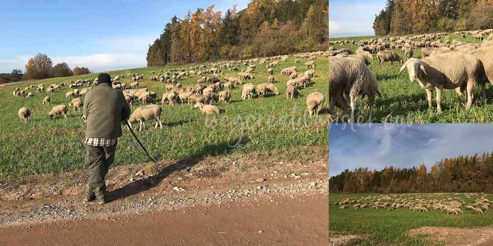 Sheep on Hill in Germany